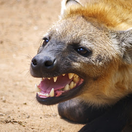 Grinning Hyaena by Ingrid Anderson-Riley - Animals Other