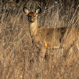 Yearling by Bruce Arnold - Animals Other Mammals