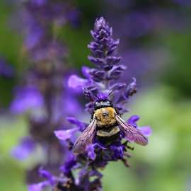Bee on Lavender by Barbara Horner - Animals Insects & Spiders