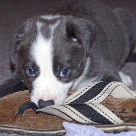 I didn't do it by Jo Soule - Animals - Dogs Puppies ( grey and white, border collie, puppy,  )