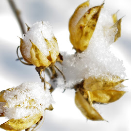 frozen buds by Martin Stepalavich - Nature Up Close Trees & Bushes