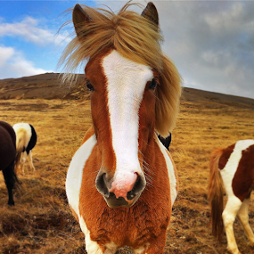Icelandic Horse by Kristján Karlsson - Animals Horses