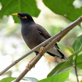 Kerak Ungu by Simon Anon Satria - Animals Birds ( bird, burung, indonesia, kerak ungu, common myna,  )