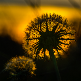 Looking to the sun by Opreanu Roberto Sorin - Nature Up Close Other plants ( grass, close up, macro, red, dandelion, nature, autumn, color, sunset, outdoor, fall, focus, view, light, flower,  )