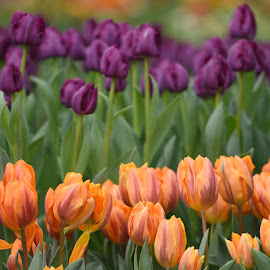 Tulips  by Lorraine D.  Heaney - Flowers Flower Gardens