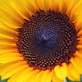 Sunflower by Katie McKinney - Flowers Single Flower ( pattern, nature, texture, sunflowers, sunflower, gold, yellow, garden, close up, flower,  )