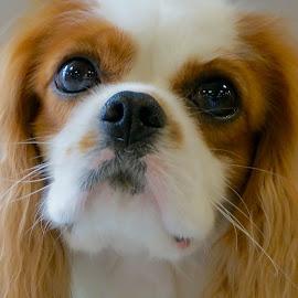 The King Charles by Barbara Brock - Animals - Dogs Portraits ( cocker spaniel, pet, dog, dog closeup, king charles spaniel )