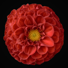 by Marco Bertamé - Flowers Single Flower ( blloming, red, petals, bloom, yellow, dahlia,  )