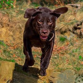 Jumping Labrador by Jenny Trigg - Animals - Dogs Running ( retriever, jumping, having fun, woodland, labrador, running )