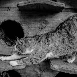 Cat by Stefan Mihailovic - Animals - Cats Playing ( streetphotography, cat, park, belgrade, street art, street, sleeping, street scene, morning, sleep, stretching, street photography, street life, serbia, stree, streets, street photo, street scenes, street lights,  )