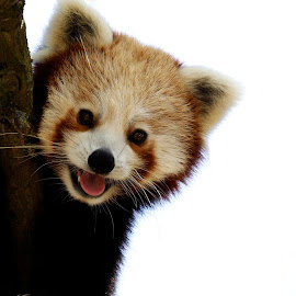 Happy panda  by Tracy Morris - Animals Other Mammals