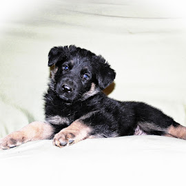 Apache by Dawn Vance - Animals - Dogs Puppies ( animal portriat, puppy, german shepherd, portrait, animal )