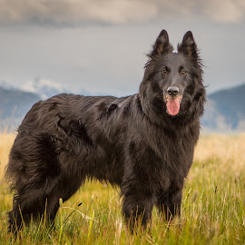 A Run Before The Storm by Janet Delight - Animals - Dogs Portraits ( belgian shepherd dog groenendael, dog, black,  )