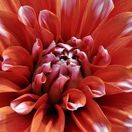 ORANGE DAHLIA by Debanjan Goswami - Flowers Single Flower (  )