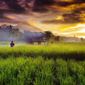 morning rice field by Rahmad Himawan - Landscapes Prairies, Meadows & Fields ( sunset, sunrise, morning, landscapes, landscape, fields,  )