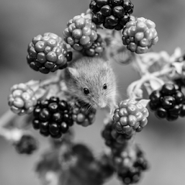 Mouse by Garry Chisholm - Black & White Animals ( mouse, berry, mammal, nature, mice, garry chisholm )