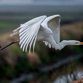 white heron by Riccardo Trevisani - Animals Birds