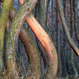 The Crooked Forest by Stanley P. - Nature Up Close Trees & Bushes ( trees, forest )