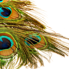 Peacock feathers isolated on white by Vrinda Mahesh - Artistic Objects Other Objects ( peacock feathers, isolated, copy space, isolated on white, wallpaper, invitation cards, white background, greetings card, peacock, feathers isolated )