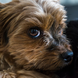 Poppy by Paul Johnston - Animals - Dogs Portraits ( dog portrait, best friend, dog, animal, eyes )