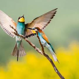 gruccione by Claudio Massanelli - Animals Birds ( #merops apiaster     #gruccione     #italian bird #redeyes #orange #green #uccelli #wildlife #bird italy )