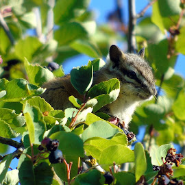 Chipmunk up high by Cynthia Dodd - Novices Only Wildlife ( animals, sky, furry, chipmunk, eating, wildlife, cute, rodent, tree tops, berries )