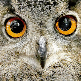 WHAT BIG EYES YOU HAVE by Traci Rautenbach - Animals Birds ( orange, owl, big, eyes )