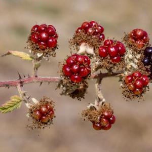 Black Berry Plant 29 08 18.jpg