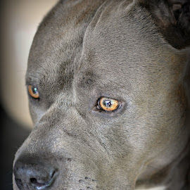 Mr. Gibbs by A.j. Amos - Animals - Dogs Portraits ( pitbull, pet, beautiful, dog, close up )