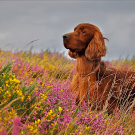 King of the Quantock hills by Ken Jarvis - Animals - Dogs Portraits ( irish setter, dog portrait, setter, irish, dog )