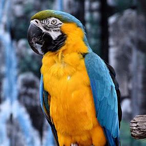 Blue and yellow macaw by Benny Lopez - Animals Birds ( south america, macaw, birds, indiana,  )