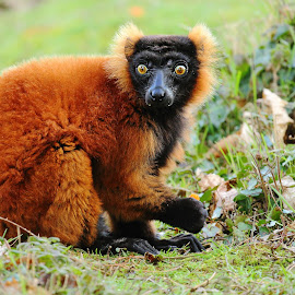 Red ruffed lemur by Gérard CHATENET - Animals Other Mammals