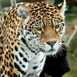 Aramis The Jaguard by Gérard CHATENET - Animals Lions, Tigers & Big Cats