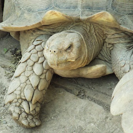 Old Turtle by Barbara Horner - Animals Reptiles ( shell, nature, reptile, turtle, animal )