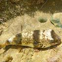 Smooth Toadfish