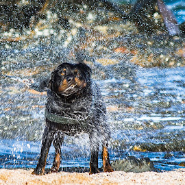 Shake it dry! by Tommy Glad - Animals - Dogs Playing ( swim, shake, j-bay, dog, rottweiler )