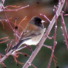 WINTER BIRD by Cynthia Dodd - Novices Only Wildlife ( bird, winter, nature, snow, wildlife )