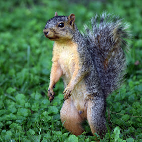 Look at Me by Deborah Lucia - Animals Other Mammals ( squirrel_standing, squirrel )