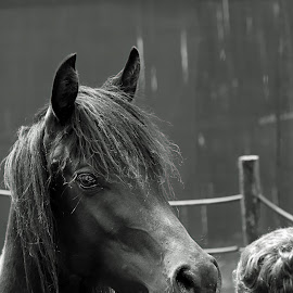 For the love of horses by Dricus Bosman - Animals Horses ( love, horse, tender, high quality, in focus, boy )
