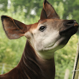 Okapi by Ralph Harvey - Animals Other Mammals ( okapi, wildlife, ralph harvey, marwell zoo, animal )