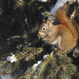 Red Squirrel by Patricia Phillips - Animals Other ( alaska animals squirrels winter )