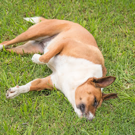 Ahhh by Deborah Bisley - Animals - Dogs Playing ( tan and white, canine, paw up, grass, lying down, nose in grass, ears, dog )