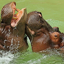 Ooo, yeah, that's the spot! by Michael Elliott - Animals Other Mammals ( two, battle, hippo hippopotomus, splashing, splash, fight, fighting, together, close, we )