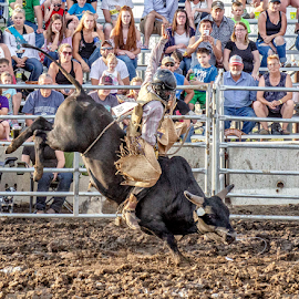 by Theresa Stevens - Sports & Fitness Rodeo/Bull Riding ( cowboy, buck, dirt, bull, ride, horns )