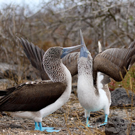 Blue Footed Boobies by Wendy Meehan - Animals Birds ( dancing, blue, galapagos, boobies, courting, birds )