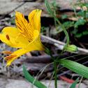 Peruvian Lily gone wild