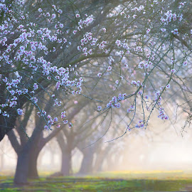 Foggy Almond Grove by Richard Duerksen - Nature Up Close Trees & Bushes ( bees, almonds, trees, grove,  )