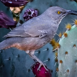 Curved-bill Thrasher by Dave Lipchen - Animals Birds ( curved-bill thrasher )