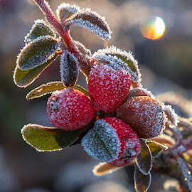 Frost Berries by Richard Duerksen - Nature Up Close Other plants ( red berries, cold, frost, morning, berries )