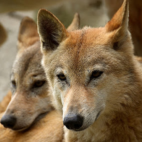 Himalayan Wolfs by Ajay Halder - Animals Other Mammals ( wolf himalayan indian )